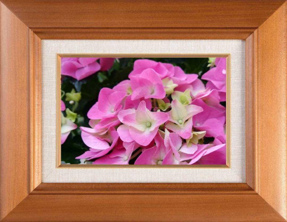 Hortensia roz